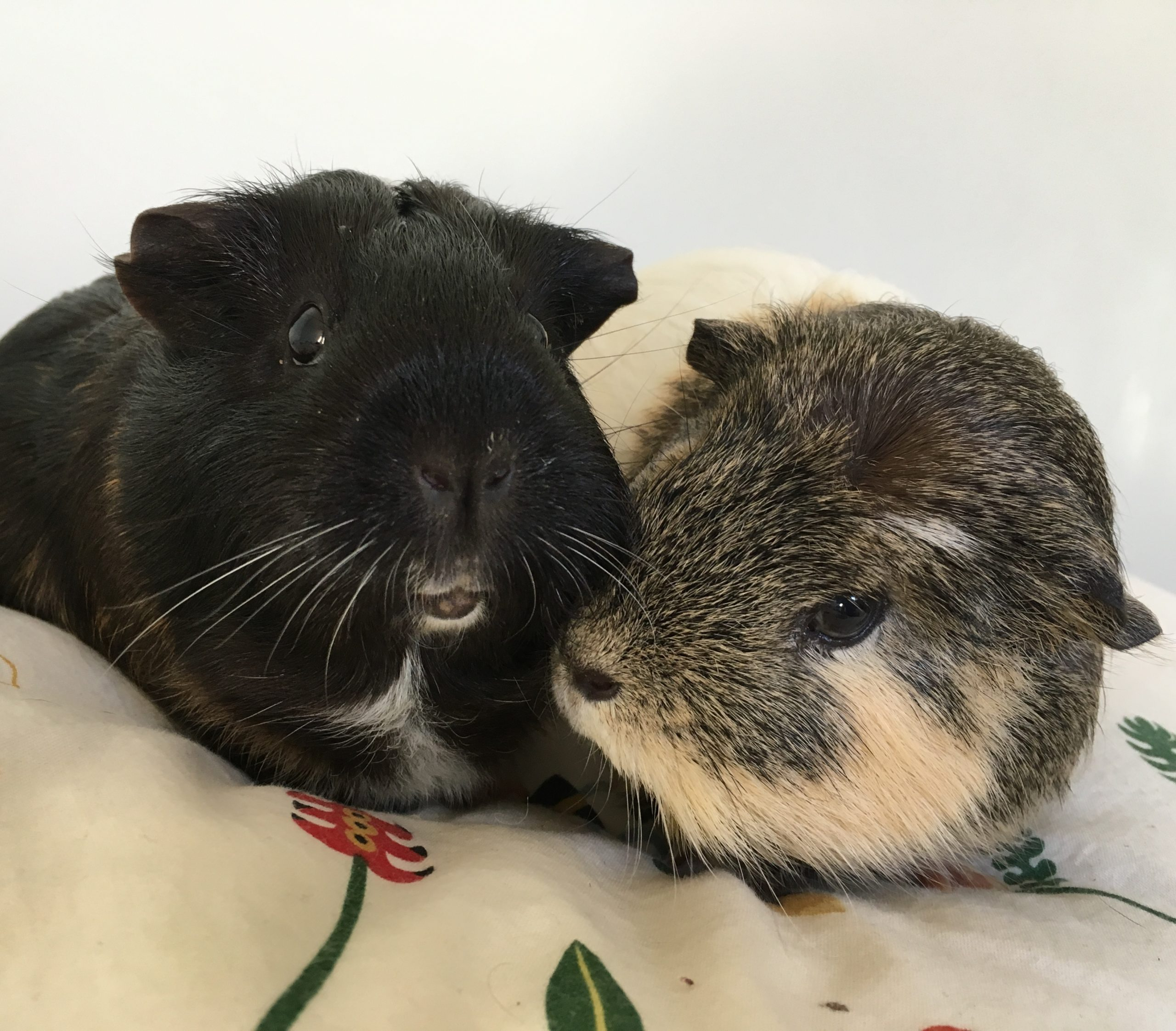 Upper Respiratory Infections In Guinea Pigs